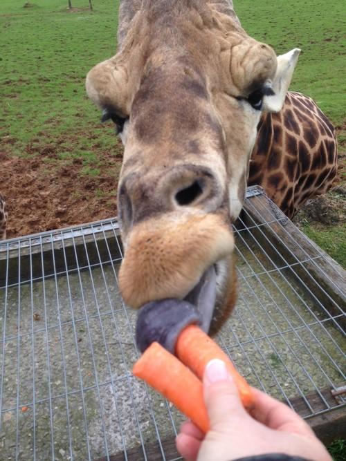 Cabarceno_Natural_Park-Animals-Nature-Leisure-Cantabrie-Spain-Girafe-1