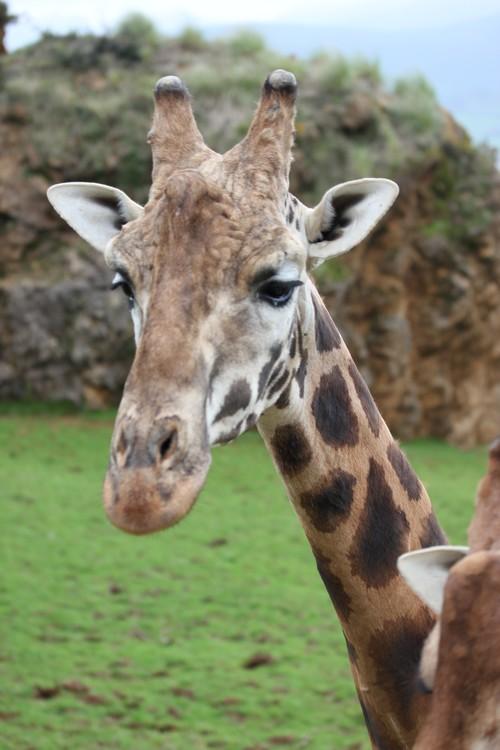 Cabarceno_Natural_Park-Animals-Nature-Leisure-Cantabrie-Spain-Girafe-12