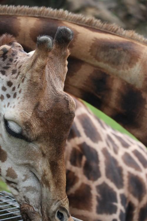 Cabarceno_Natural_Park-Animals-Nature-Leisure-Cantabrie-Spain-Girafe-13