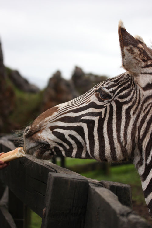 Cabarceno_Natural_Park-Animals-Nature-Leisure-Cantabrie-Spain-blogtrip-Zebre-10