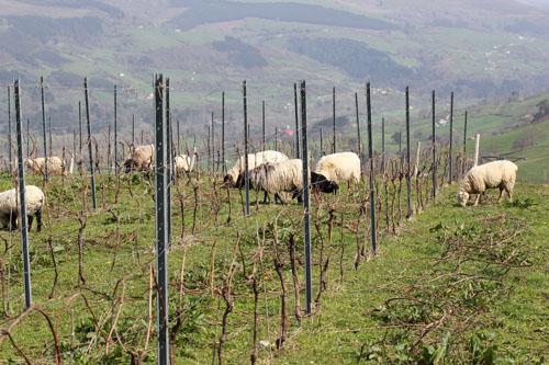 Sel_d_Aiz-Bodegas-Cantabrie-Spain-Espagne-wine-vin-Blogtrip-vignes-mouton