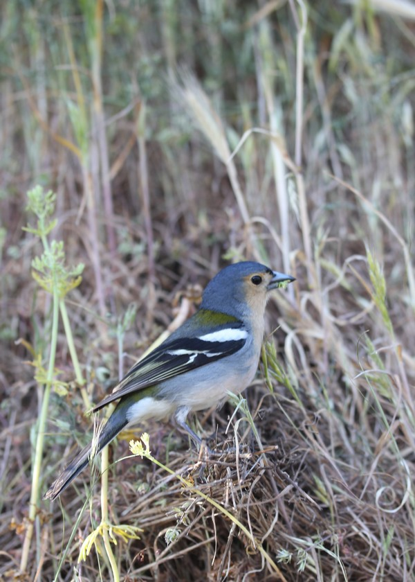 Balcoes-Nature-Madere-Madeira-Portugal-Blogtrip-travels-chaffinch-bird-2