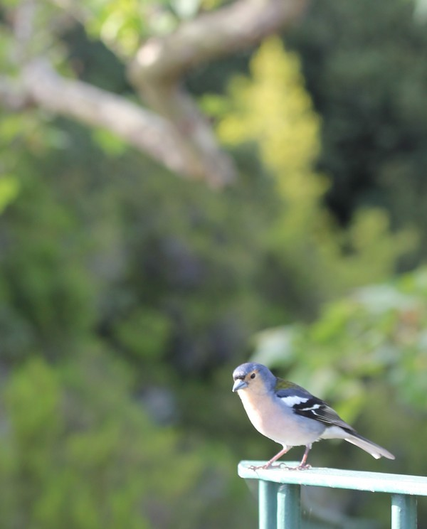 Balcoes-Nature-Madere-Madeira-Portugal-Blogtrip-travels-chaffinch-bird-3