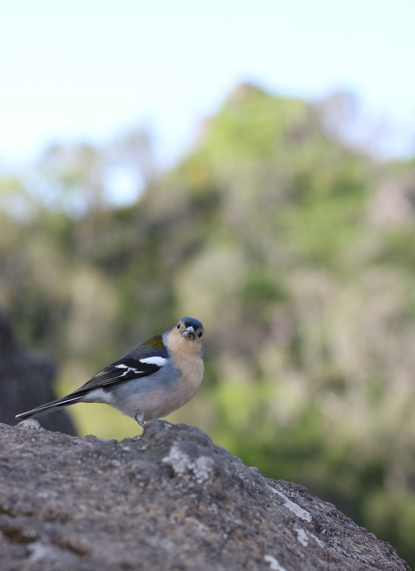 Balcoes-Nature-Madere-Madeira-Portugal-Blogtrip-travels-chaffinch-bird